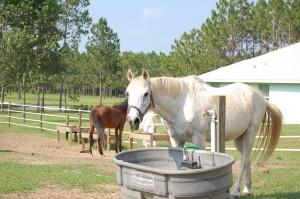 Horses love North Florida